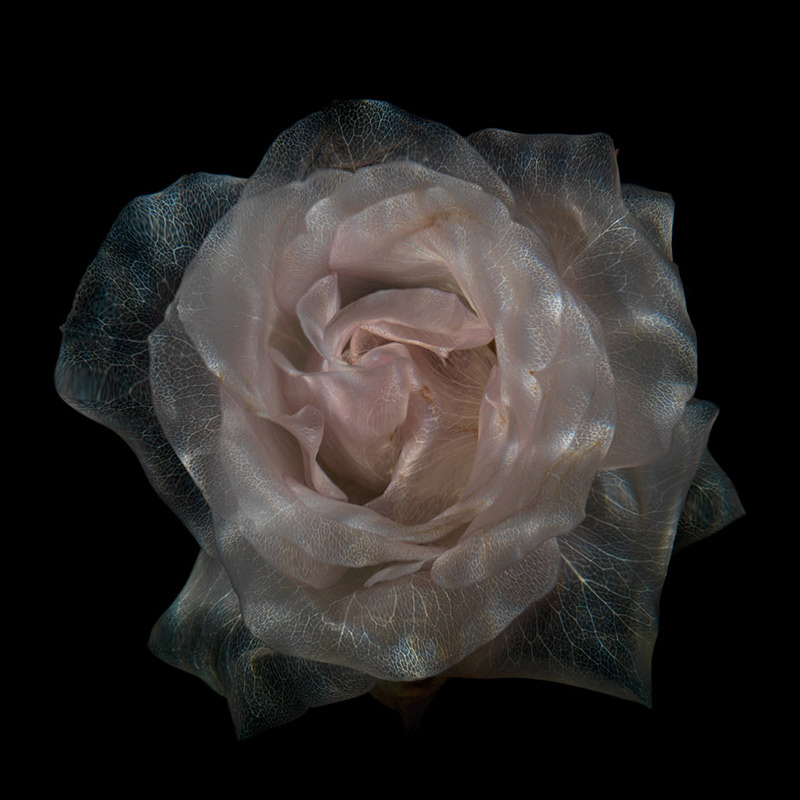 By keeping cut roses in a state of suspended animation, their colours drained but their life preserved, Alexander James has created images of surreal beauty.