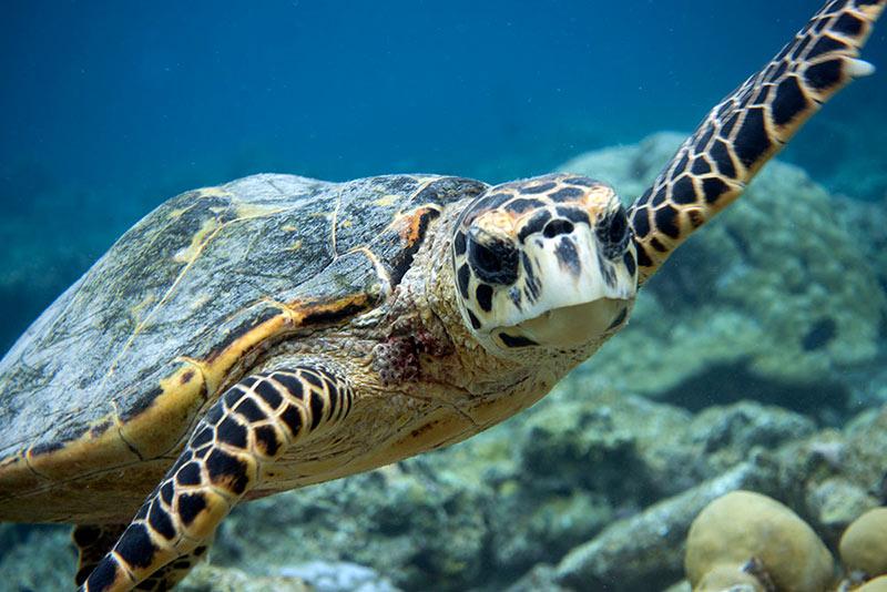 hawksbill turtle portrait underwater face head on